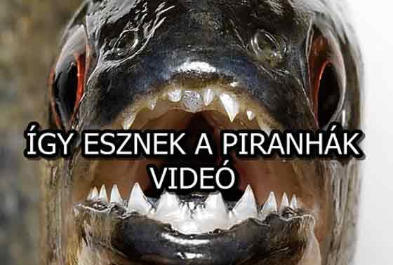 ÍGY ESZNEK A PIRANHÁK - VIDEÓ