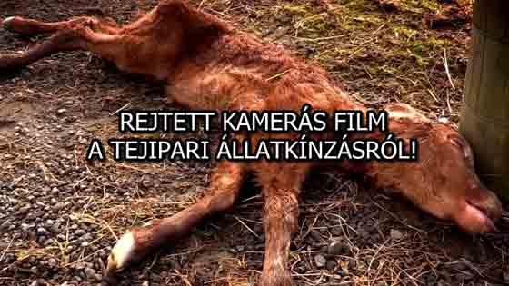 REJTETT KAMERÁS FILM, A TEJIPARI ÁLLATKÍNZÁSRÓL!