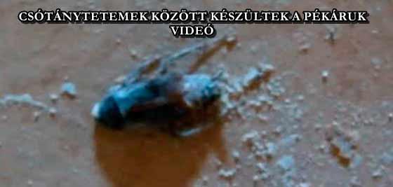 CSÓTÁNYTETEMEK KÖZÖTT KÉSZÜLTEK A PÉKÁRUK - VIDEÓ