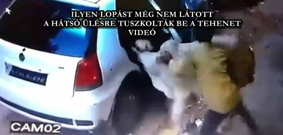 ILYEN LOPÁST MÉG NEM LÁTOTT, A HÁTSÓ ÜLÉSRE TUSZKOLTÁK BE A TEHENET - VIDEÓ