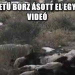 KIS MÉRETŰ BORZ ÁSOTT EL EGY BORJÚT – VIDEÓ