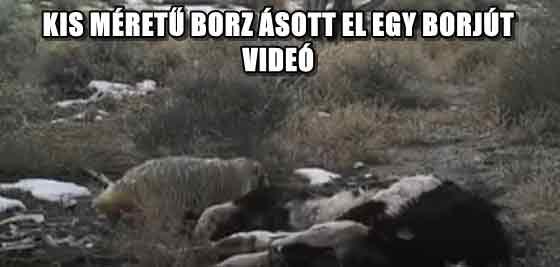 KIS MÉRETŰ BORZ ÁSOTT EL EGY BORJÚT - VIDEÓ